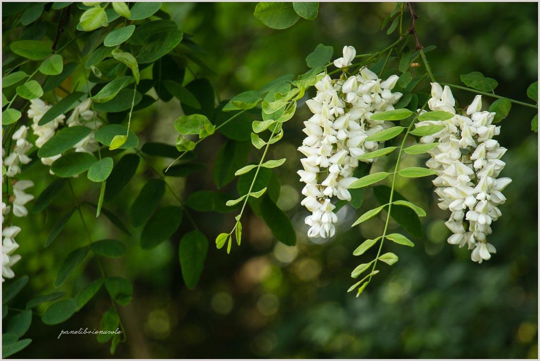 acacia e sambuco-4